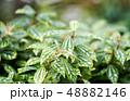 ピレア 観葉植物 48882146