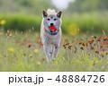 野原で遊ぶ柴犬 48884726