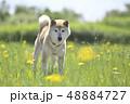 野原で遊ぶ柴犬 48884727