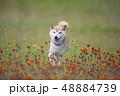野原で遊ぶ柴犬 48884739