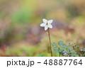 植物 花 バイカオウレンの写真 48887764