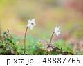 植物 花 バイカオウレンの写真 48887765