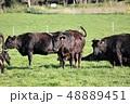牛 48889451