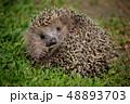 草 はりねずみ ハリネズミの写真 48893703