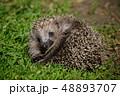 草 はりねずみ ハリネズミの写真 48893707