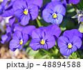 パンジー 三色菫 花の写真 48894588
