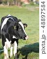 牛 ウシ ホルスタインの写真 48897584