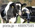 牛 ホルスタイン 乳牛の写真 48897585