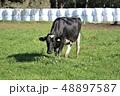 牛 ホルスタイン 乳牛の写真 48897587