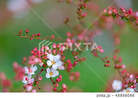 ユキヤナギ 48898086