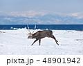 冬 牡鹿 海の写真 48901942