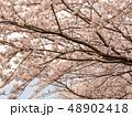 相模川ほとりの桜(神奈川県) 48902418