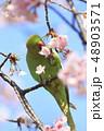 桜の花を食べる野生のワカケホンセイインコ 48903571