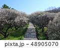 越谷梅林公園の梅の花(3月)埼玉県越谷市 48905070