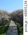 越谷梅林公園の梅の花(3月)埼玉県越谷市 48905136