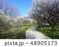 越谷梅林公園の梅の花(3月)埼玉県越谷市 48905173
