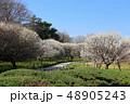 越谷梅林公園の梅の花(3月)埼玉県越谷市 48905243