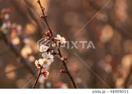 早朝の梅の花 48909051