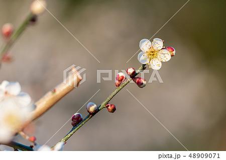 早朝の梅の花 48909071