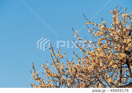 早朝の梅の花 青空 48909176