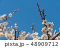 梅の花 梅 花の写真 48909712