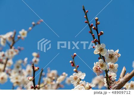 青空と梅の花 48909712