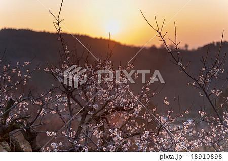 朝日と梅の花 48910898