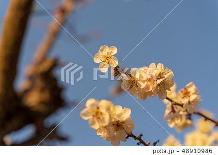 早朝の梅の花 青空 48910986