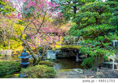 初春の京都御所で咲く梅 48911703