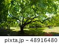大木のシルエット 48916480