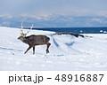 鹿 冬 牡鹿の写真 48916887
