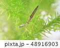 ミズカマキリの捕食シーン 48916903