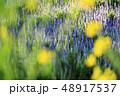 ラベンダー 花 植物の写真 48917537