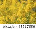 菜の花畑 花 菜の花の写真 48917659