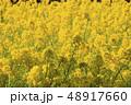 菜の花畑 花 菜の花の写真 48917660