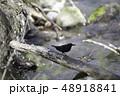 カワガラス カラス 鳥の写真 48918841