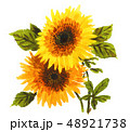 sunflowers19317pix7 48921738