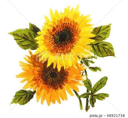 sunflowers19317pix7 48921738