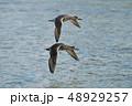 鳥類 鳥 野鳥の写真 48929257