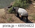 マレーバク 馬来獏 多摩動物公園の写真 48934822