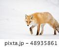 雪の上のキタキツネ 48935861