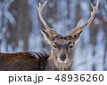 エゾシカ 48936260