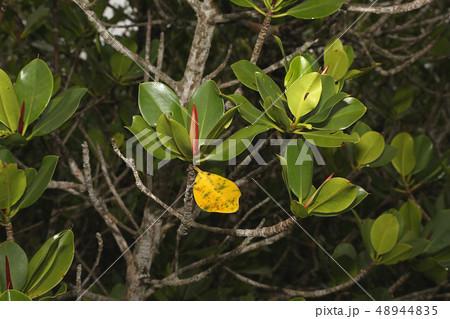 ヤエヤマヒルギの黄色い葉、マングローブの樹木 48944835