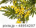 ミモザ アカシア 花の写真 48954207