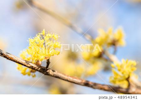 サンシュユの花 48954341