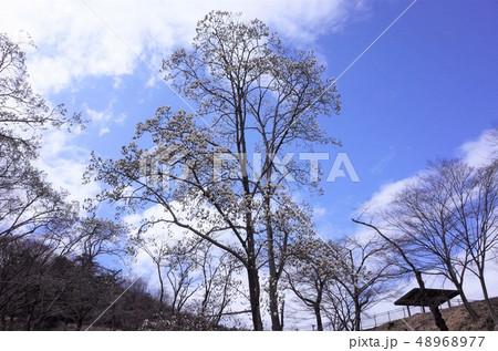 初夏の木蓮の花と樹木、公園に美しく咲く、青空 48968977