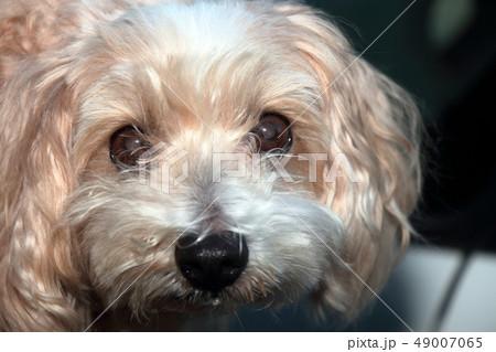ミックス犬 雑種 ミックスマルチーズ×プードル 49007065