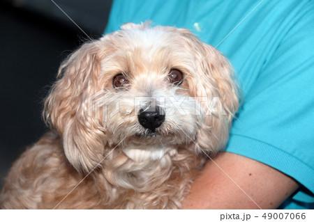 ミックス犬 雑種 ミックスマルチーズ×プードル 49007066