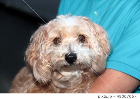 ミックス犬 雑種 ミックスマルチーズ×プードル 49007067