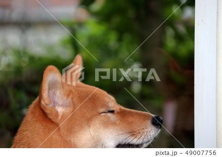 柴犬 49007756